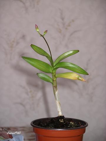 Dendrobium Kindel treibt Blüten - (Botanik, Orchideen)