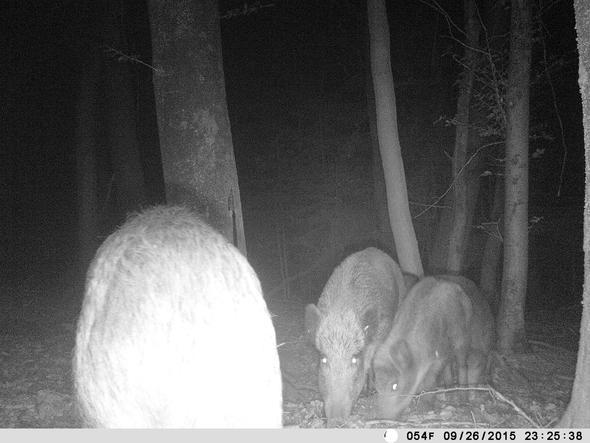 Wildsau - (Tiere, Wald, Wolf)