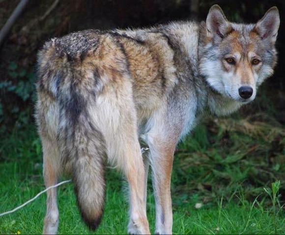 Nordamerikanischer Wolfshund - (Hund, Hunderasse, Ähnlichkeit)