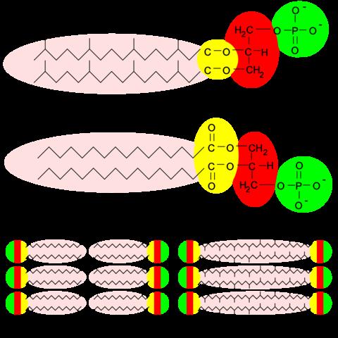 1-4 und 10 sind von den Archaeen  - (Biologie, 11. Klasse, Zellmembran)