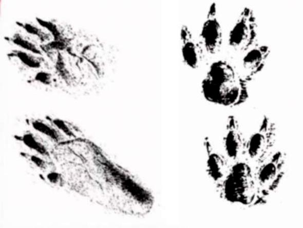 Spuren - (wildtiere, Spuren)