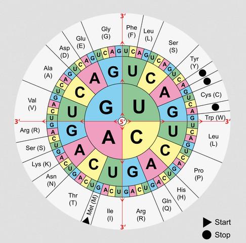 Codesonne - (Biologie, Genetik)