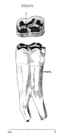 - (Zähne, Archäologie)