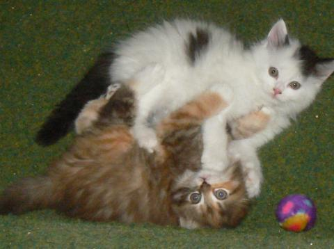 Bijou & Bandit - (Katzen, stubenrein, Katzenbaby)