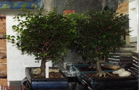 kann ich meinem bonsai chinesische ulme auch im winter die triebe k rzen habe ihn gestern. Black Bedroom Furniture Sets. Home Design Ideas