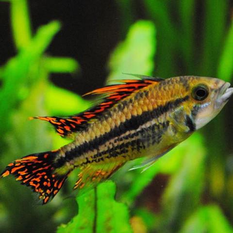 Kakadubundbarsch - (Aquarium, Aquaristik)