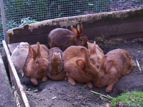 - (Tiere, Kaninchen, Kaninchenhaltung)