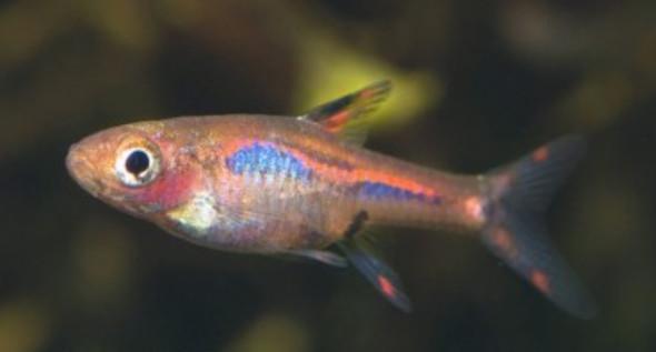 Mosquitorasbora - (Fische, Aquarium, Aquaristik)