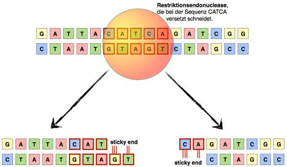 - (Biologie, DNA)