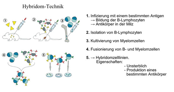 Hybridomtechnik