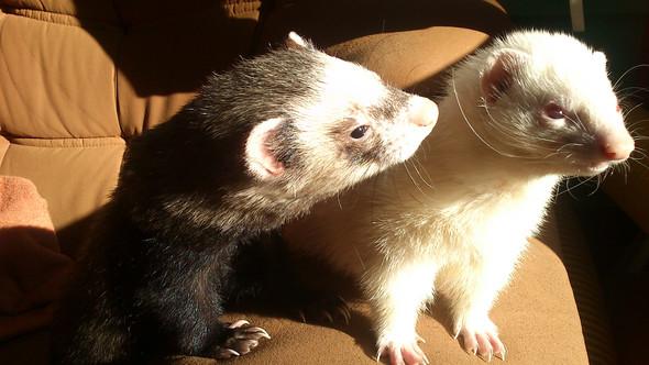Bruno und Lucy  - (Haustiere, Frettchen)