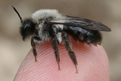 Gibt Es Eine Schwarz Graue Wespe Suche Insekten