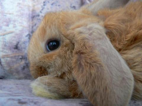 Bilduntertitel eingeben... - (Tiere, Kaninchen, impfausweis)