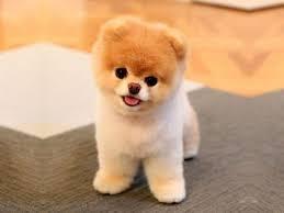 Suche Teddyhund Nicht Boo Hund Hunderasse
