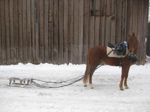 Schlitten Fahren Mit Meinem Pony Pferde