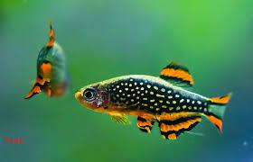 welche 2 s wasserfische f r ein 52 l aquarium fische aquaristik s sswasser. Black Bedroom Furniture Sets. Home Design Ideas
