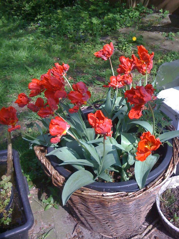 tulpen im korb - (Garten, Tulpen, Blumenzwiebeln)
