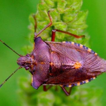 Blattwanze  - (Insekten, Plage, Wanzen)