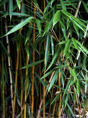 Fargesia robusta Pingwu  - (Garten, Ratgeber, Pflanzen)