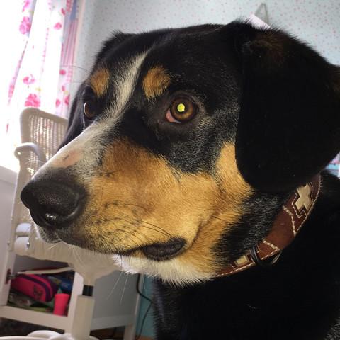 Das ist unser Rüde er ist 1 Jahr alt. Ich kenne mich gut mit der Rasse aus.💫 - (Hund, entlebucher-sennenhund)