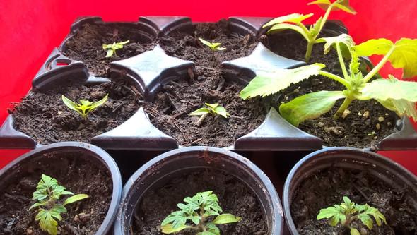 - (Pflanzen, Chili)