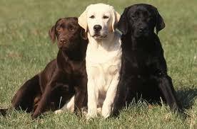 Labrador! Juhu!!! - (Hund, Rasse)