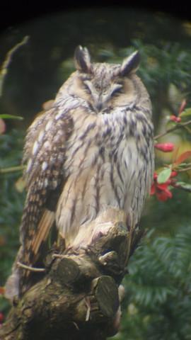 Waldohr Eule gelassen und ruhend - (Tiere, Vögel, eule)