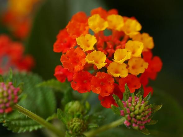 - (Pflanzen, Pflanzenpflege, Wandelröschen)