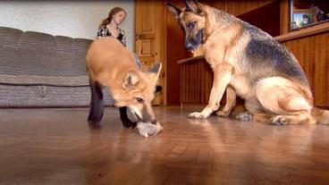 Einen Fuchs Als Haustier Haustiere Legal