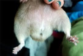 Männlich, man sieht die Hoden - (Hamster, weiblich, männlich)