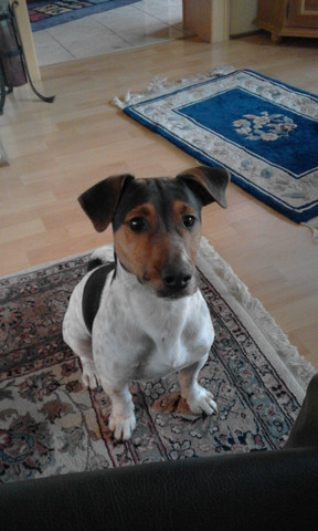 - (Hund, Yorkshire Terrier)