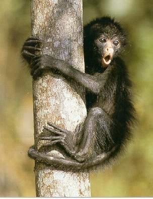 Klammeraffe - (Tiere, Amerika, Afrika)