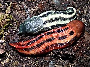 Rot gefärbter Limax cinereoniger (schwarzer Schnegel) - (Tiere, Biologie, Garten)