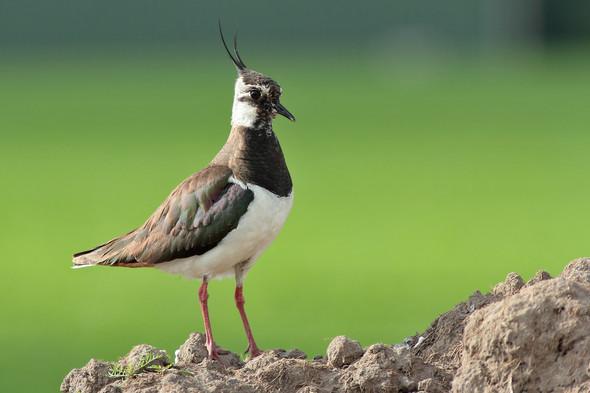 - (Biologie, Vögel)