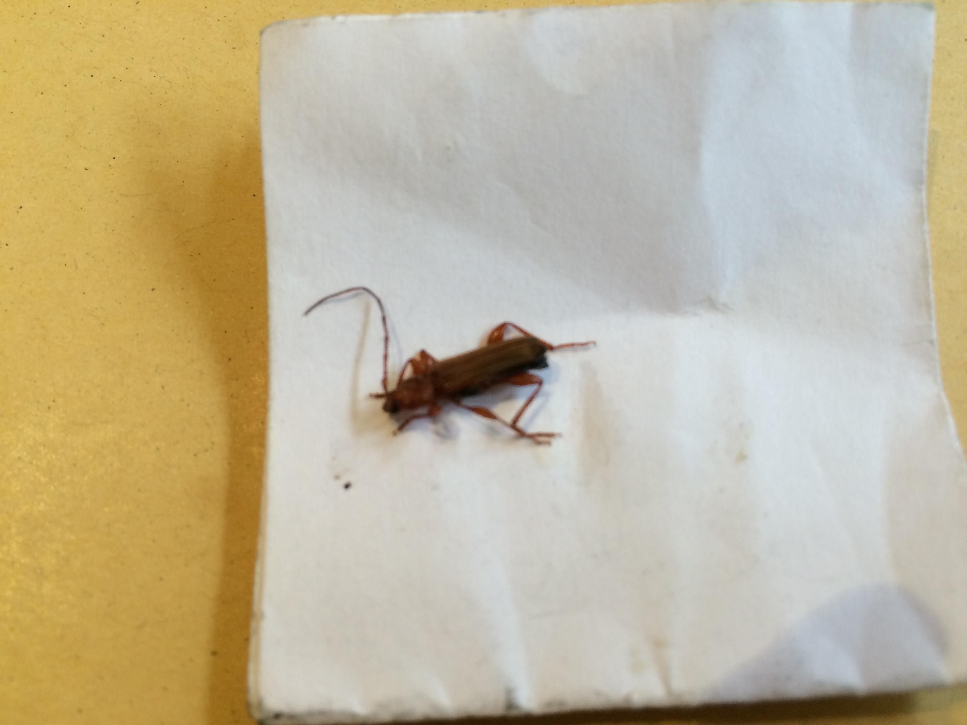 was ist das f r ein k fer gefunden in der wohnung haus garten insekten. Black Bedroom Furniture Sets. Home Design Ideas