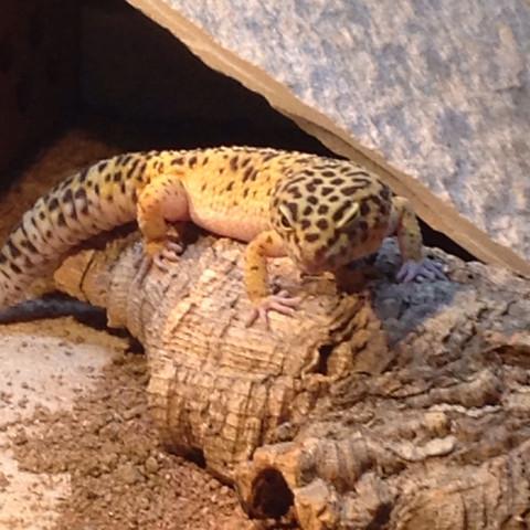 das mänchen - (Preis, leopardgecko)