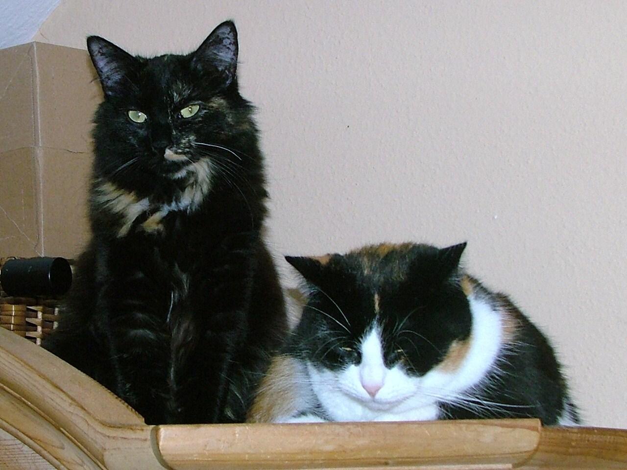 dunkle rasse katzen mit gr nen oder blauen augen katze z chter katzenrasse. Black Bedroom Furniture Sets. Home Design Ideas
