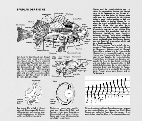 panzerwelse haben kiemen warum fische aquarium aquaristik. Black Bedroom Furniture Sets. Home Design Ideas