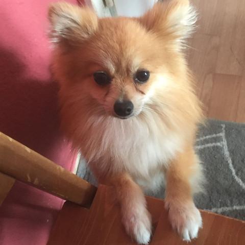 Hund Kleinspitz  - (Tiere, Hund, Kosten)