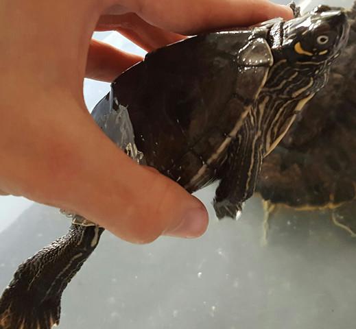 Hier ist die Schildrköte - (Art, Schildkröten)