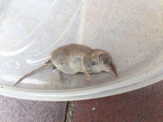 - (Biologie, Haustiere, Maus)
