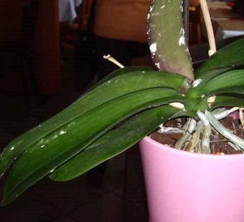 wei er belag auf meiner yucca palme blumen pflanzenpflege zimmerpflanzen. Black Bedroom Furniture Sets. Home Design Ideas
