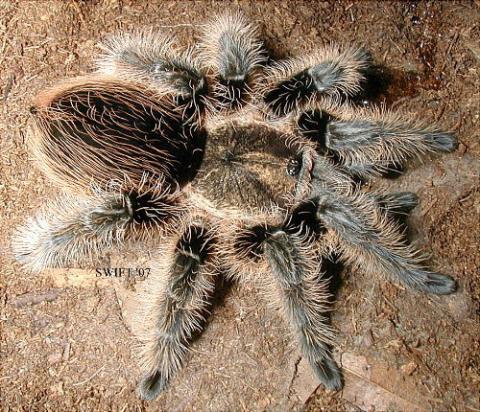 Brachypelma albopilosum (Kraushaarvogelspinne) - (Aquarium, Terrarium, Reptilien)