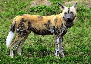 Wildehond - (Hund, Leben, wild)