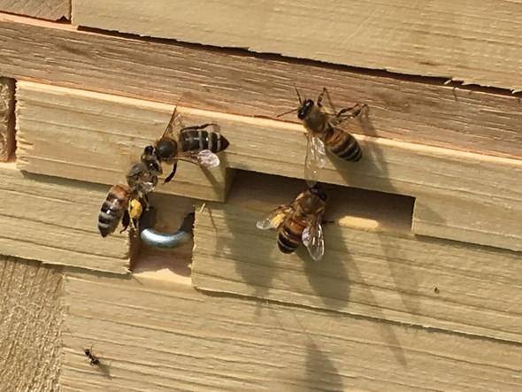 die linke Biene fliegt mit gesammelten Pollen gerade in den Stock. - (Bienen, höseln)