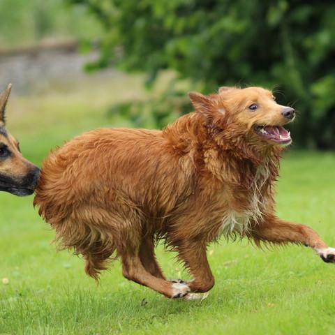 Im rennen  - (Hund, Hunderasse)
