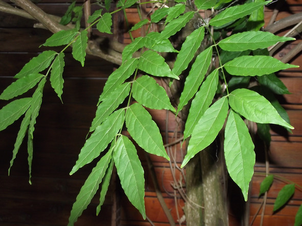 Blauregen - (Pflanzen, Kletterpflanze)