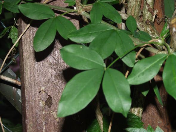 Goldregen - (Pflanzen, Kletterpflanze)