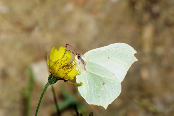 Zitronenfalter - (Natur, Schmetterling)