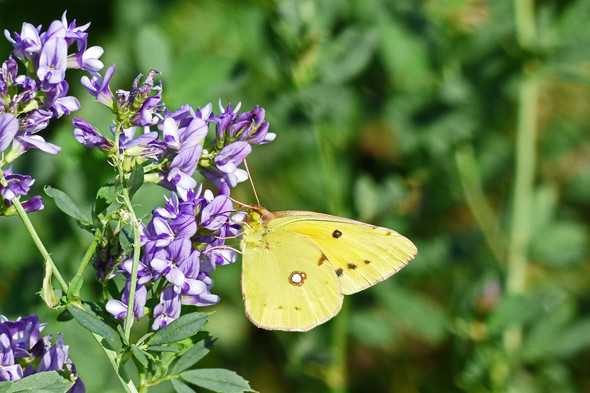 Goldene Acht - (Natur, Schmetterling)